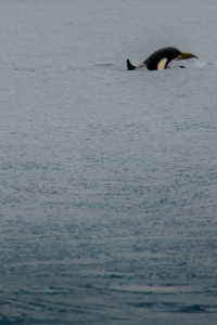 Baby orca of the A30's foraging with mum and family on the Johnstone Strait July 24th