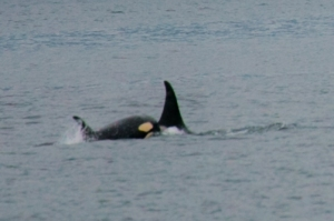 Mum and Baby of the A30's in Johnstone Strait July 24th