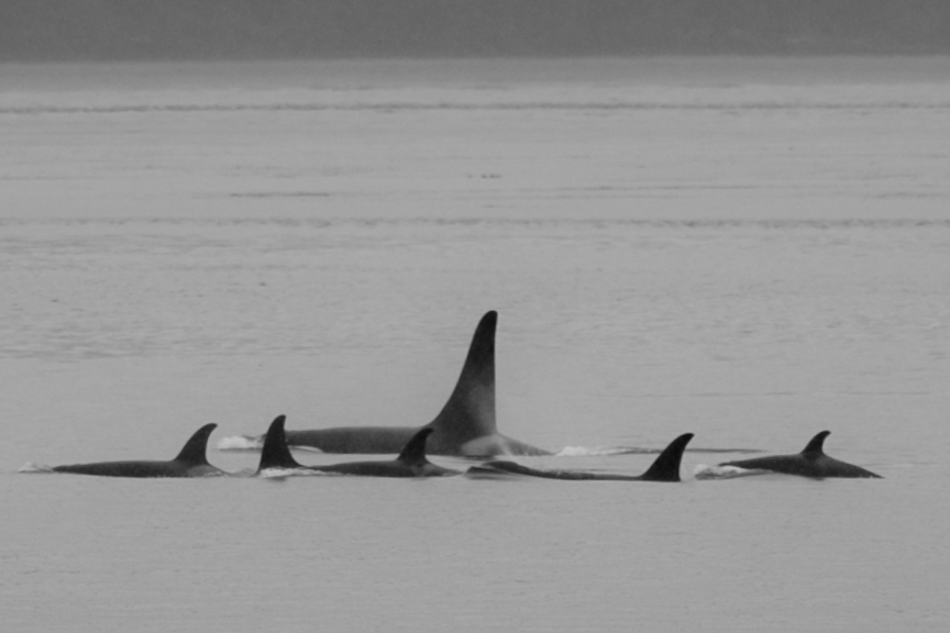 A Family photo. Orcas - A30's sticking together on the Johnstone Strait, Aug 1 2012. 1pm.