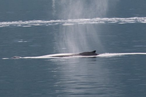 Humpback taking a breath, Aug 8th